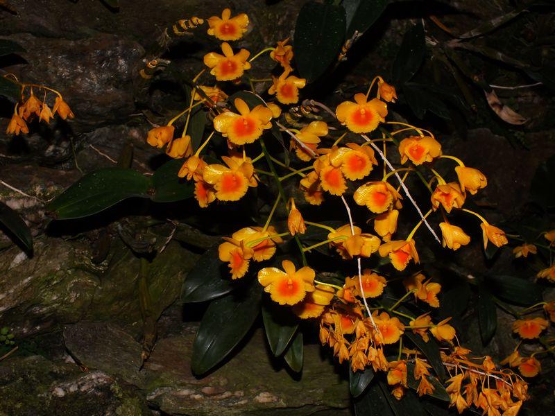 /wp-content/uploads/2020/10/Dendrobium%20chrysotoxum%20-2-.JPG