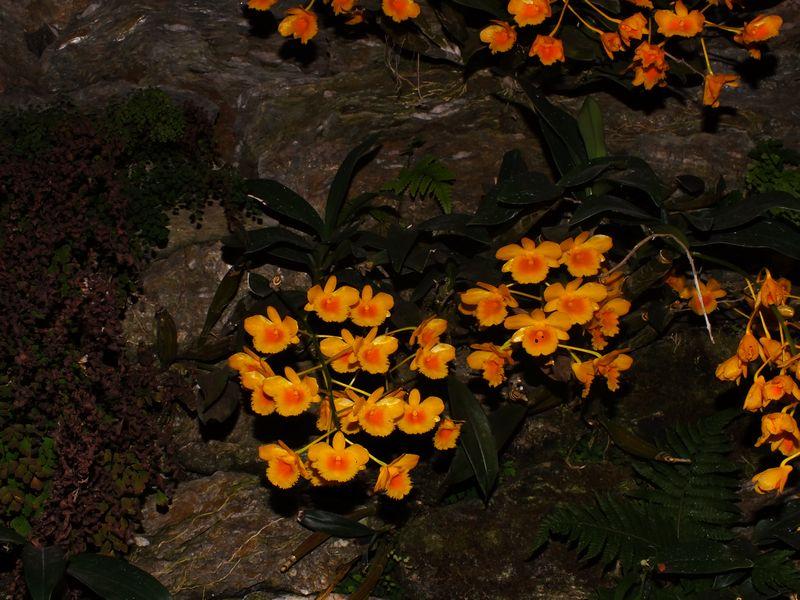 /wp-content/uploads/2020/10/Dendrobium%20chrysotoxum-4.JPG