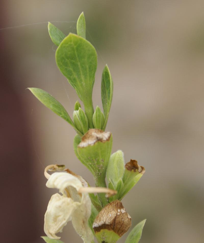 /wp-content/uploads/2020/10/Dubia-acanthaceae-Ek%20tal%20lake-Morni-10-4-DSC05634-Morni-2.jpg
