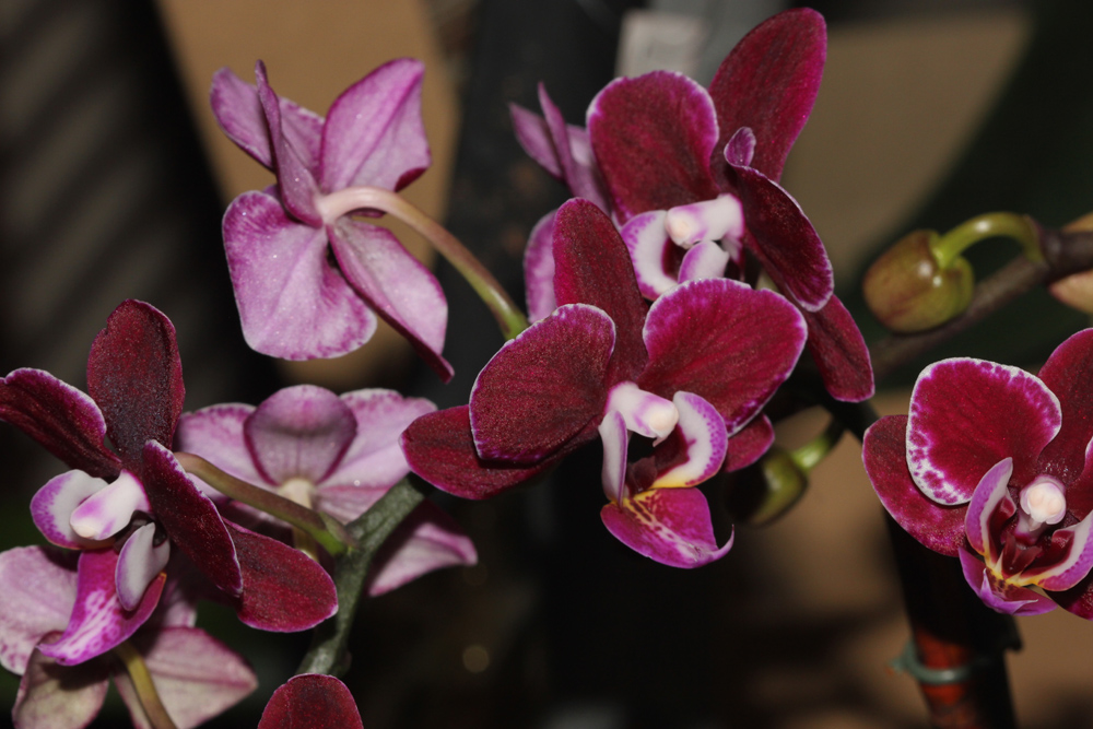 /wp-content/uploads/2020/10/Dubia-orchid-17-Fremont-IMG_9695-California-1.jpg
