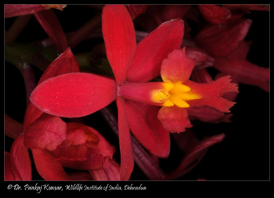 /wp-content/uploads/2020/10/Epidendrum%20%2001-7.JPG