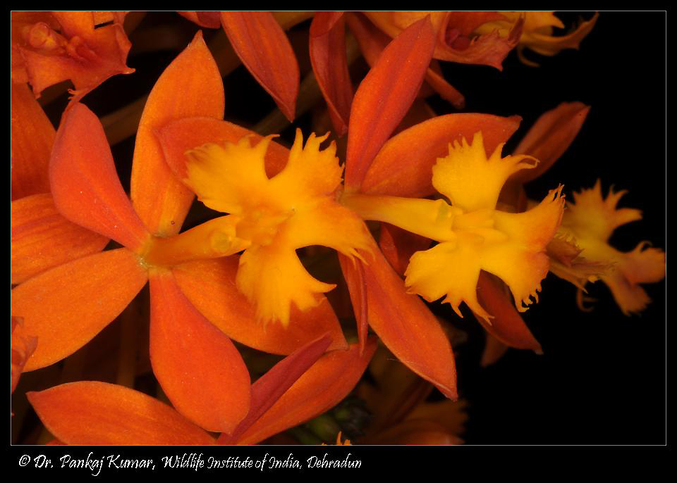 /wp-content/uploads/2020/10/Epidendrum%2002-2.JPG