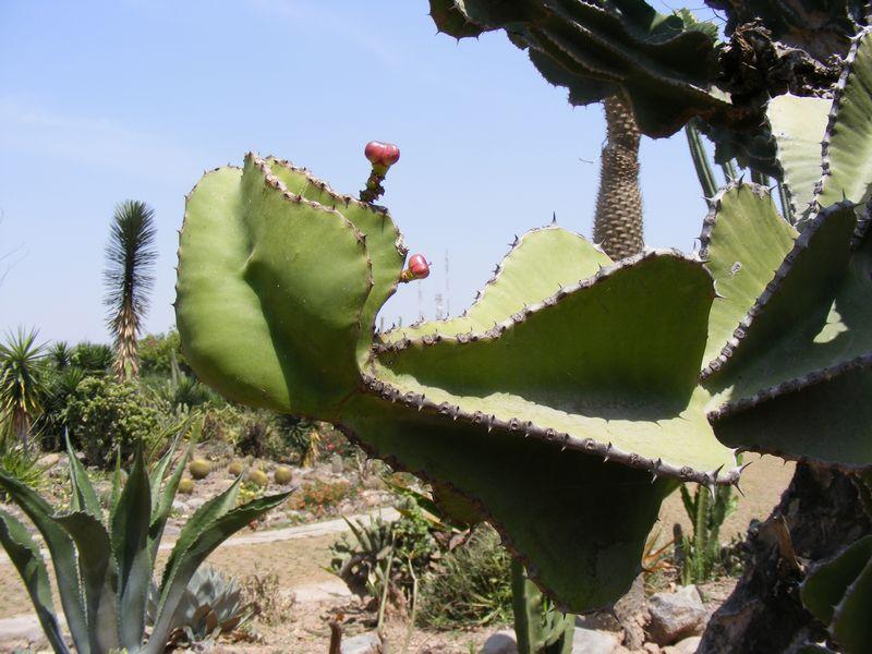 /wp-content/uploads/2020/10/Euphorbia%206%20-1-.JPG