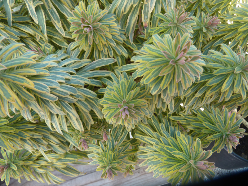 /wp-content/uploads/2020/10/Euphorbia-martinii--Ascot%20Rainbow--Summerwinds%20nursery-Sunnyvale-P1080769-California-2.jpg