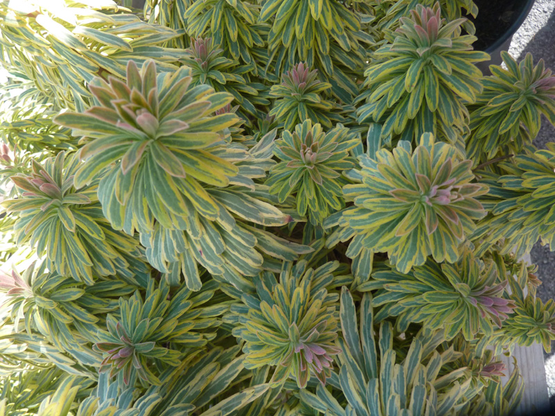 /wp-content/uploads/2020/10/Euphorbia-martinii--Ascot%20Rainbow--Summerwinds%20nursery-Sunnyvale-P1080770-California-3.jpg