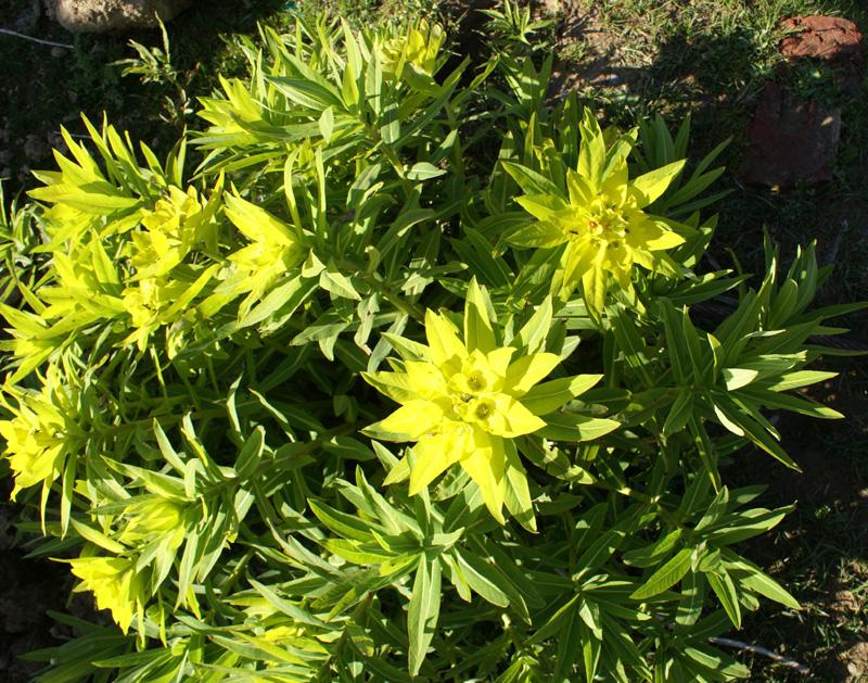 /wp-content/uploads/2020/10/Euphorbia-wallichii-Kashmir-a.jpg
