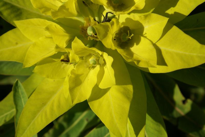 /wp-content/uploads/2020/10/Euphorbia-wallichii-Kashmir-c.jpg