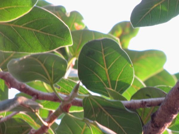 /wp-content/uploads/2020/10/Ficus%20drupacea%20back%20leaf%20venation.JPG