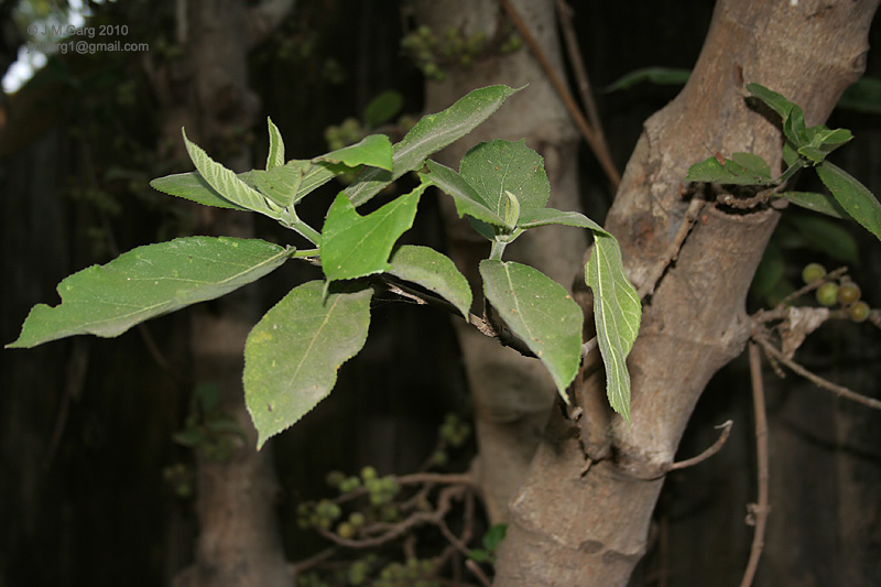 /wp-content/uploads/2020/10/Ficus%20hispida%20is%20it%20I%20IMG_4672.jpg