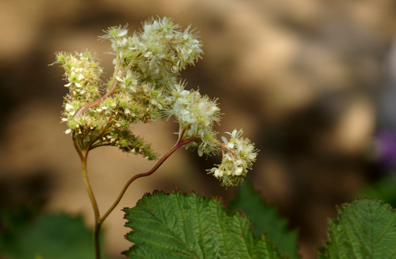 /wp-content/uploads/2020/10/Filipendula-vestita-Herbal%20garden-Kashmir-2-9.jpg