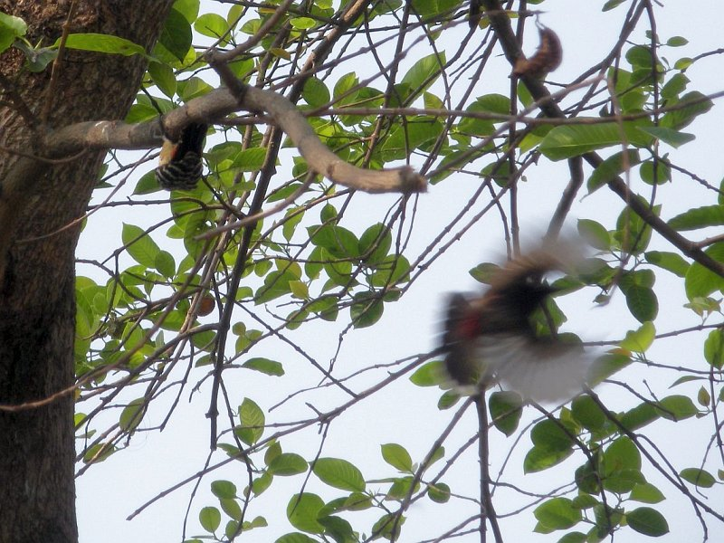 /wp-content/uploads/2020/10/Fulvous_breasted_Woodpecker_n_Red_vented_Bulbul_DSCN7700.jpg