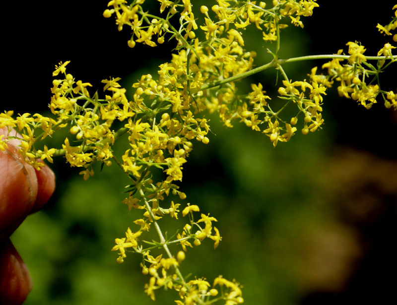 /wp-content/uploads/2020/10/Galium-verum-above%20Cheshmashahi-DSC05101-Kashmir-1.jpg