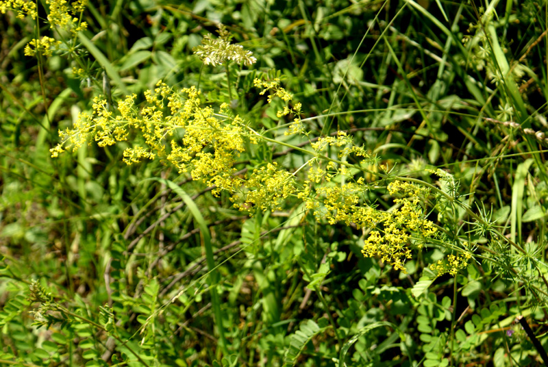 /wp-content/uploads/2020/10/Galium-verum-above%20Cheshmashahi-DSC05116-Kashmir-2.jpg