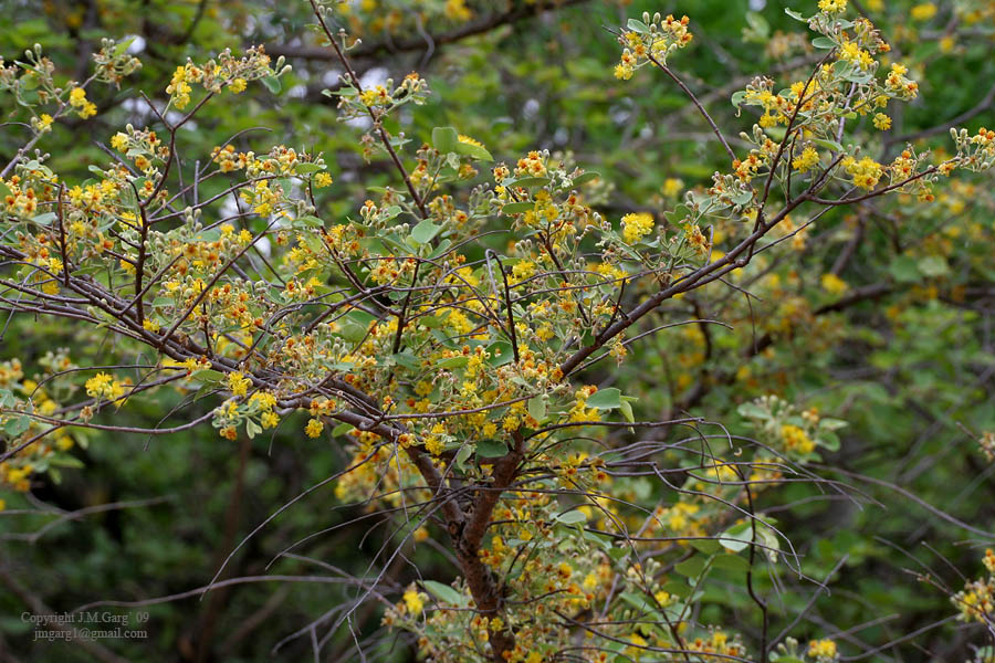 /wp-content/uploads/2020/10/Grewia%20flavescens%20is%20it-%20Hyderabad%20I%20IMG_9390.jpg