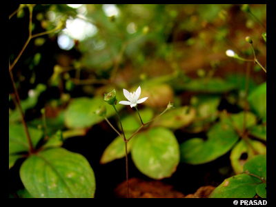 /wp-content/uploads/2020/10/Hedyotis%20ovatifolia.jpg
