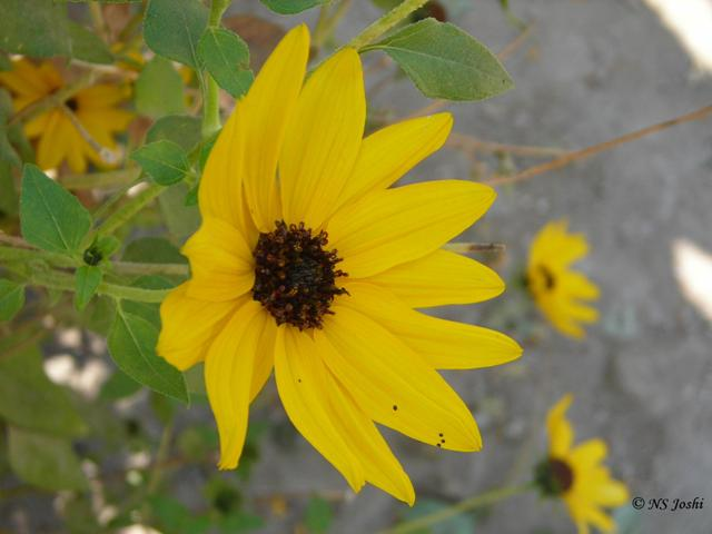 /wp-content/uploads/2020/10/Helianthus%20debilis-Beach%20Sunflower.jpg