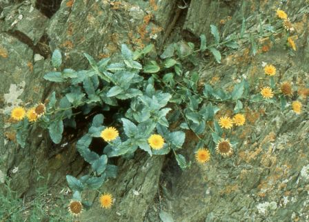/wp-content/uploads/2020/10/Inula%20obtusifolia%20photographed%20in%20%20Ladakh%20for%20Chris%20Chadwell.jpg