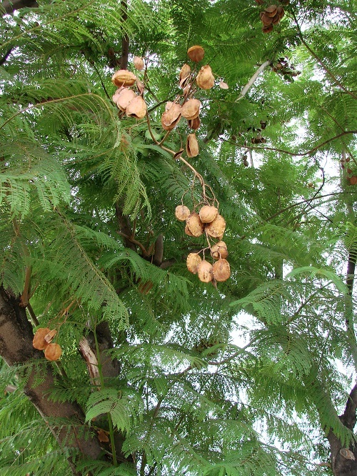 /wp-content/uploads/2020/10/Jacaranda%20mimosifolia%205%20%20seedpods%20and%20young%20leaves-5.jpg