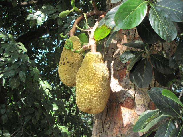 /wp-content/uploads/2020/10/Jackfruit%20Tree%20-%20Fruit.jpg