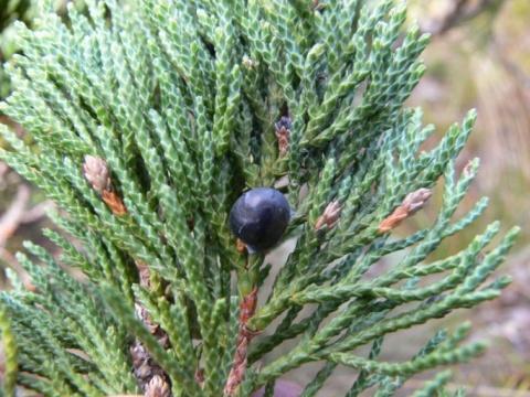 /wp-content/uploads/2020/10/Juniperus%20indica-01.JPG