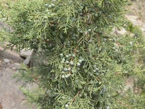 /wp-content/uploads/2020/10/Juniperus%20macropoda-01.JPG