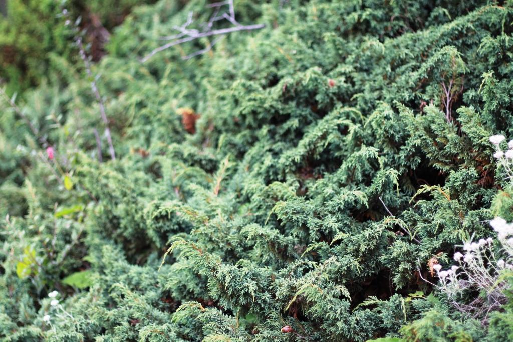 /wp-content/uploads/2020/10/Juniperus%20recurva%20-2-.JPG
