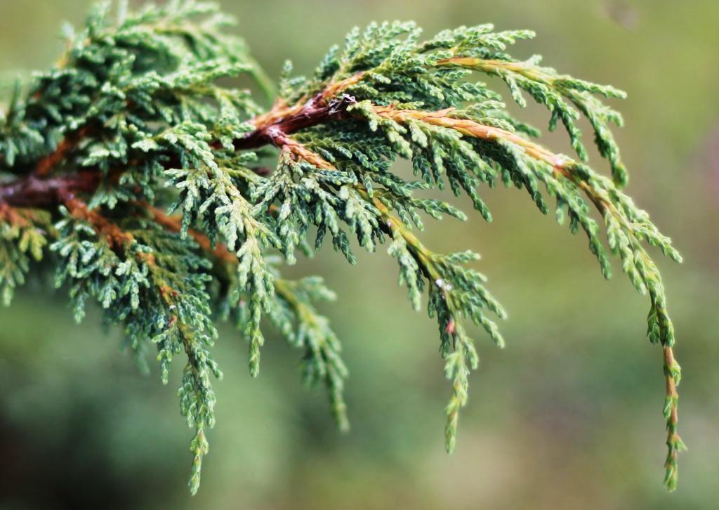 /wp-content/uploads/2020/10/Juniperus%20recurva.JPG