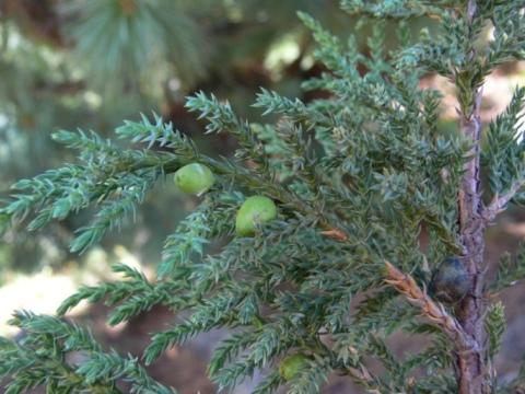 /wp-content/uploads/2020/10/Juniperus%20squamata-6.JPG