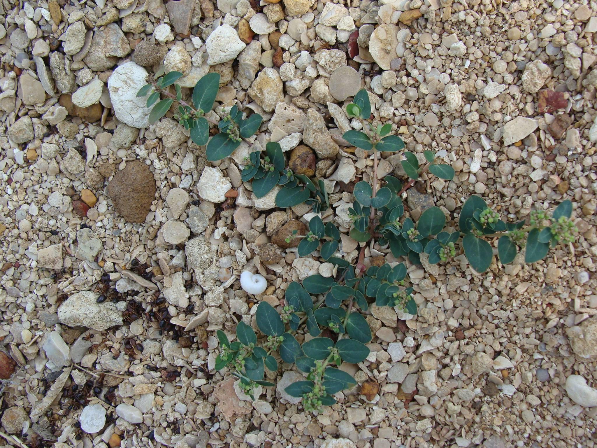 /wp-content/uploads/2020/10/Kachchh_Gujarat_Euphorbiaceae%20species%202.jpg