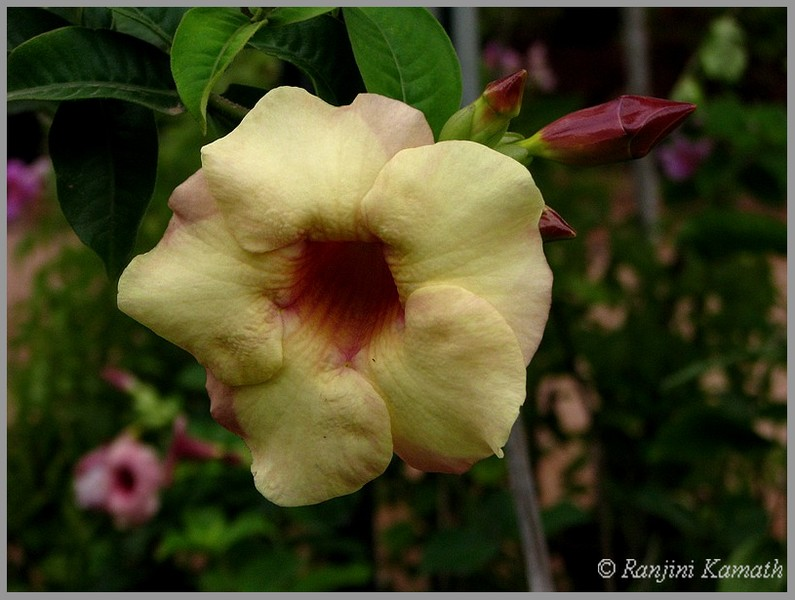 /wp-content/uploads/2020/10/Lalbagh-Thunbergia-1.jpg