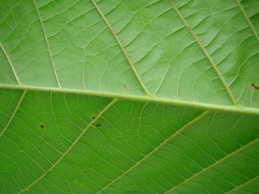 /wp-content/uploads/2020/10/Large%20leaf%20tree%20to%20ID%205%20leaf%20veins%20Back%20DSC04294%20sm%20crp%20nm.jpg