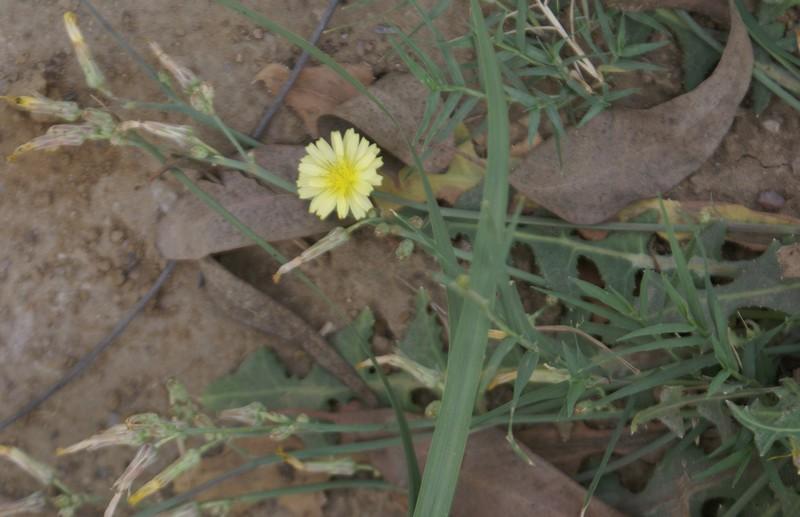 /wp-content/uploads/2020/10/Launaea-procumbens-vikas-puri-21-3-DSC05672-Delhi-2.jpg