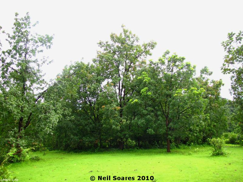 /wp-content/uploads/2020/10/Mahua%20trees%20during%20the%20rains.jpg