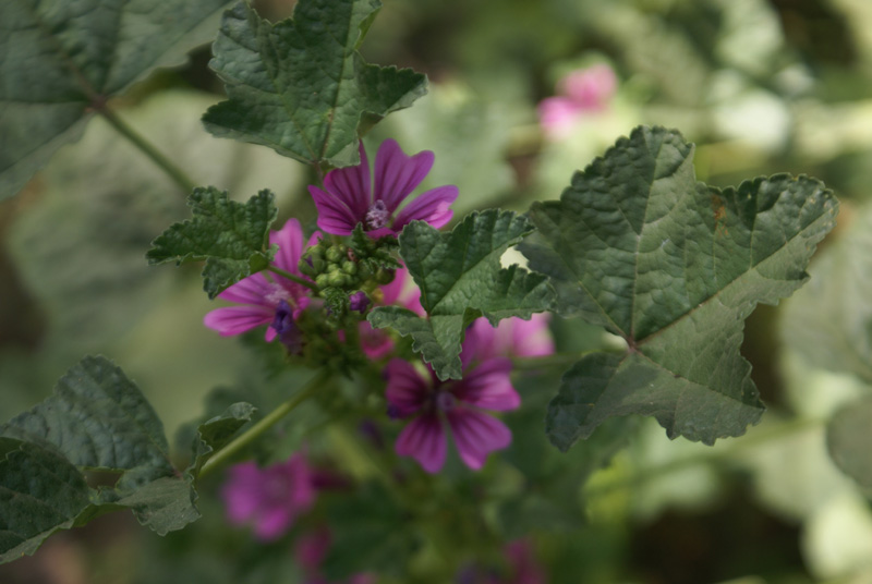 /wp-content/uploads/2020/10/Malva-sylvestris-Herbal-gdn-Delhi-2.jpg
