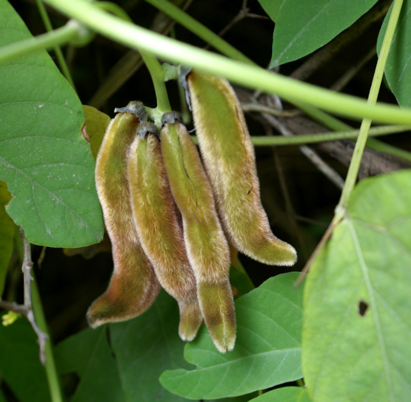 /wp-content/uploads/2020/10/Mucuna-pruriens-Herbal-gdn-fruit-Delhi-2.jpg