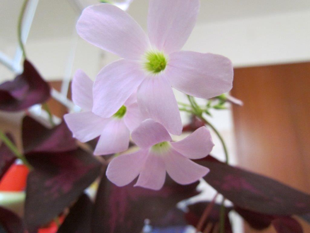 /wp-content/uploads/2020/10/Oxalis-regnellii-IMG_2231.jpg