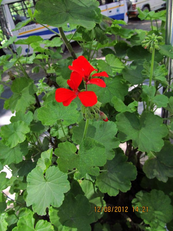 /wp-content/uploads/2020/10/Pelargonium%20x%20hortorum.JPG