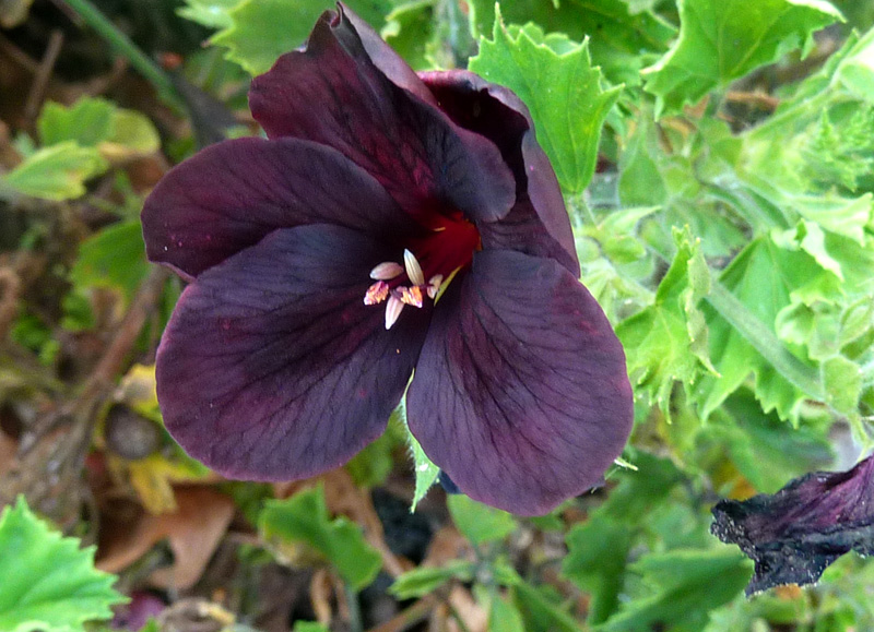/wp-content/uploads/2020/10/Pelargonium-domesticum--Chocolate-Sunnyvale-P1080854-California-3.jpg