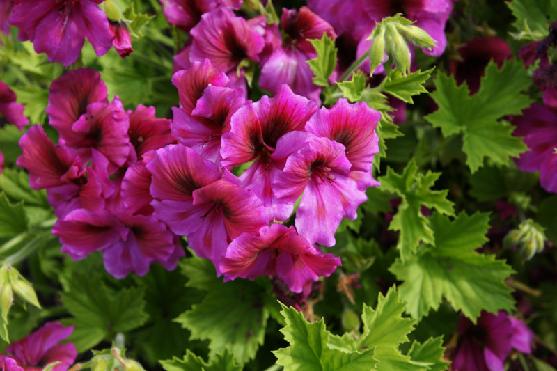 /wp-content/uploads/2020/10/Pelargonium-grandiflorum-aristo-DSC01058-California-3.jpg