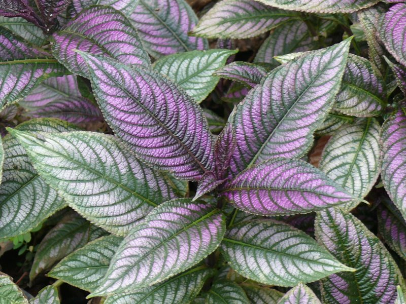 /wp-content/uploads/2020/10/Persian%20shield-Strobilanthes%20dyerianus-P1020038.jpg