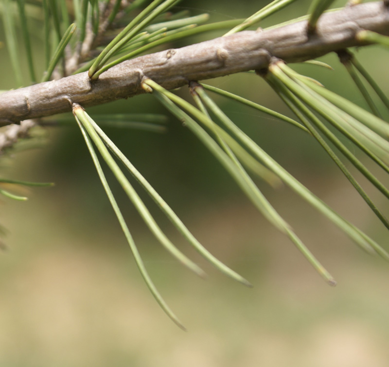 /wp-content/uploads/2020/10/Pinus-small-3-leaved-Hazuribagh-DSC03046-Kashmir-2.jpg