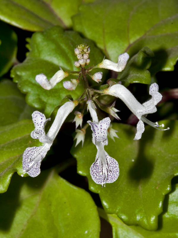 /wp-content/uploads/2020/10/Plectranthus_MG_6336.jpg