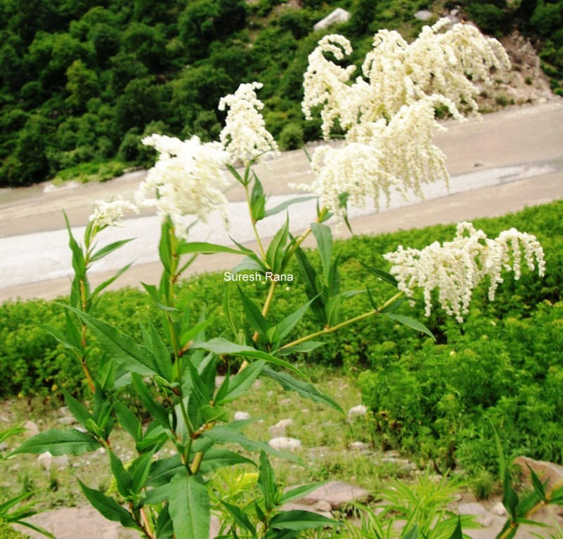 /wp-content/uploads/2020/10/Polygonum%20100_5410.JPG