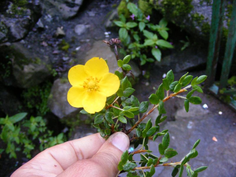 /wp-content/uploads/2020/10/Potentilla%20for%20id%20-6-.JPG