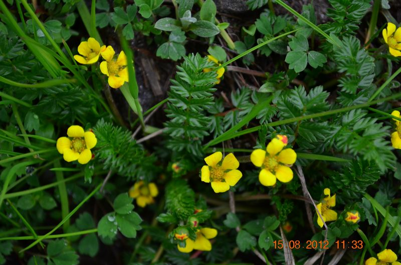 /wp-content/uploads/2020/10/Potentilla%20sp-1%20for%20Id%20-3-.JPG