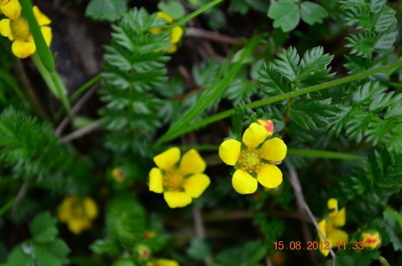 /wp-content/uploads/2020/10/Potentilla%20sp-1%20for%20Id%20-5-.JPG