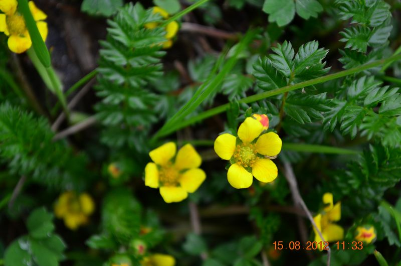 /wp-content/uploads/2020/10/Potentilla%20sp-1%20for%20Id%20-6-.JPG