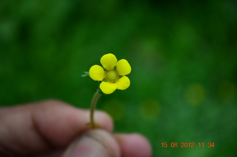 /wp-content/uploads/2020/10/Potentilla%20sp-1%20for%20Id%20-8-.JPG