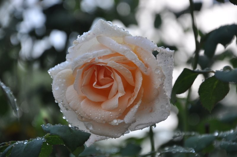 /wp-content/uploads/2020/10/Rose%20from%20Srinagar-Kashmir-DSC_0197.JPG