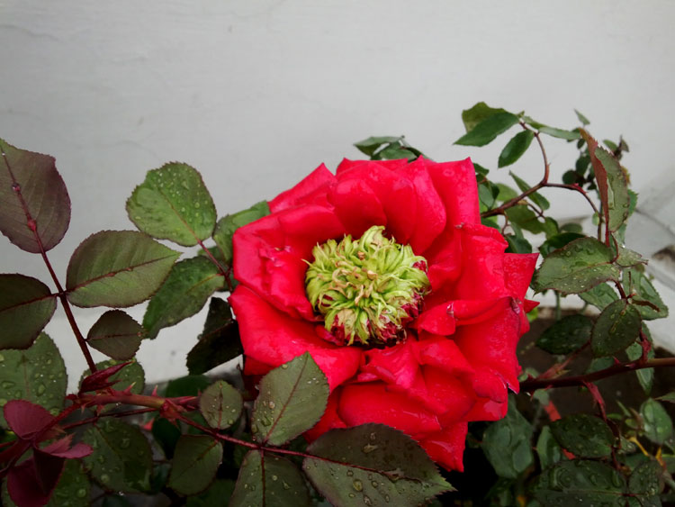 /wp-content/uploads/2020/10/Rose-3Mar14-Noida.jpg